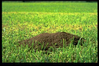 A classic fire ant mound popping out of a nice green lawn.
