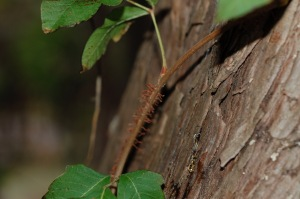 Aerial roots on the stems can help you identify poison ivy, and yes, they can trigger a rash too.